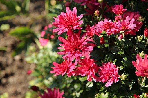 Flowers, Chrysanthemums, Plants, Garden, Bloom, Flora