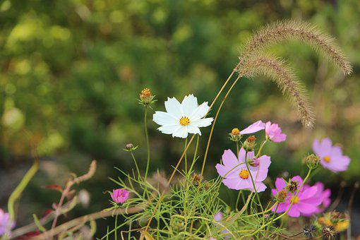 Flowers, Petals, Cosmos, Cosmea, Bloom, Flora