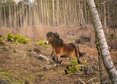 Exmoor Pony, Horse, Forest, Senne, Sunbeam, Pony