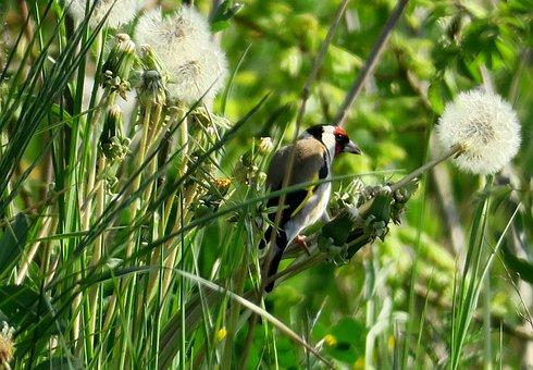 Stieglitz, Goldfinch, Eat, Bird, Colorful, Animal