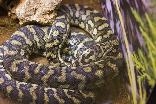 Snake, Poison, Toxic, Reptile, Animal, Exotic, Head