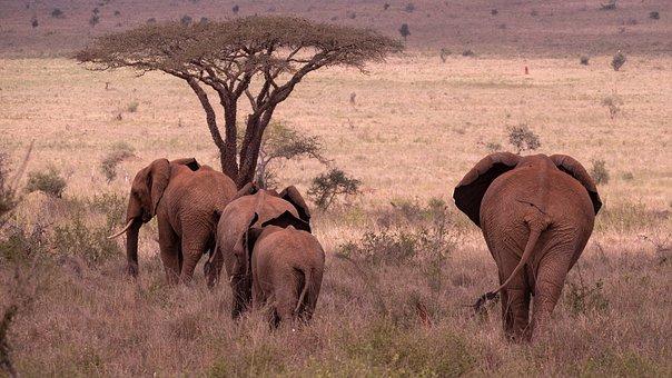 Elephants, Herd, Safari, Animals, Mammals, Wild Animals