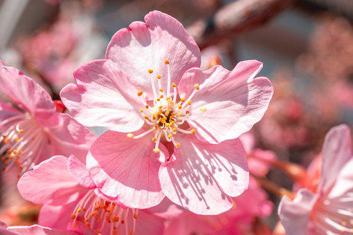 Sakura, Spring, Nature, Japan, Bloom, Blossom, Pink