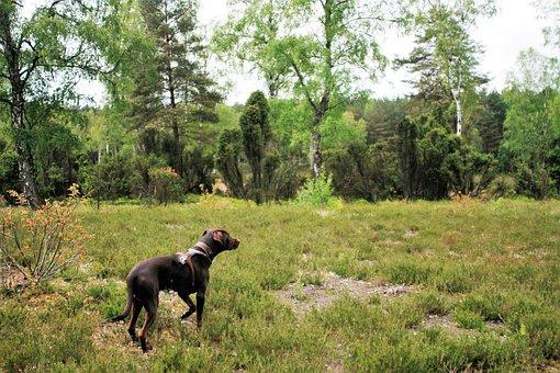Lüneburg Heath, Dog, Vizslador, Pointing Dog, Raise Paw