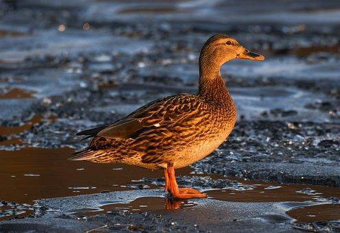 Duck, Mallard, Frozen Lake, Female Duck, Bird