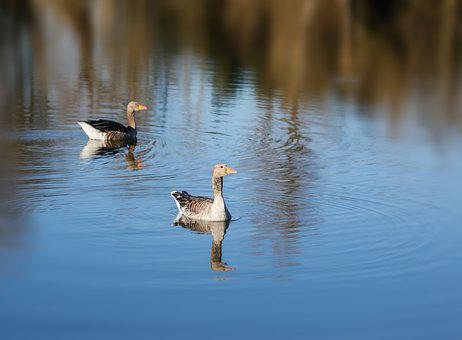 Geese, Grey Geese, Pond, Water, Nature, Migratory Birds