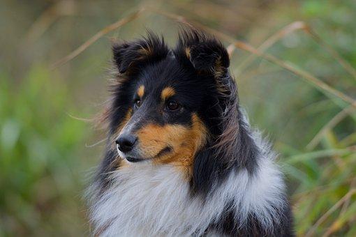 Sheltie, Dog, Pet, Shetland Sheepdog, Head, Fur, Animal