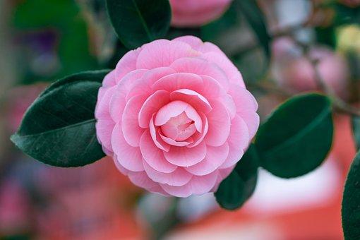 Camellia, Pink, Camelia, Bloom, Nature, Garden, Blossom