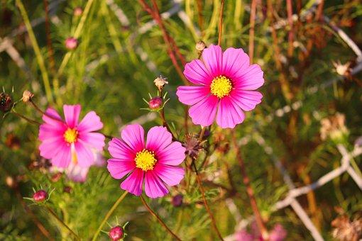Cosmos, Flowers, Plant, Cosmea, Cosmos Bipinnatus