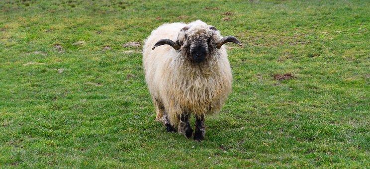Sheep, Animal, Livestock, Valais Blacknose Sheep