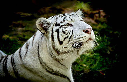 White Tiger, Animal, Wildlife, Tiger, Mammal, Predator