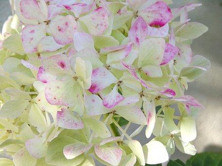 Flowers, Hydrangeas, White, White Flowers