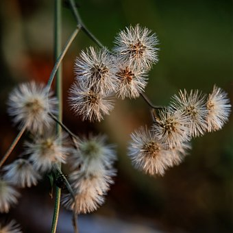 Flowers, Dandelions, Meadow, Wildflowers, Seed Head