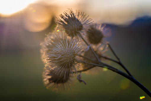 Thistle, Flowers, Withered, Dry Flowers, Dried Flowers
