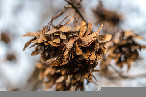 Maple, Seeds, Withered, Dry, Dried, Acer Seeds