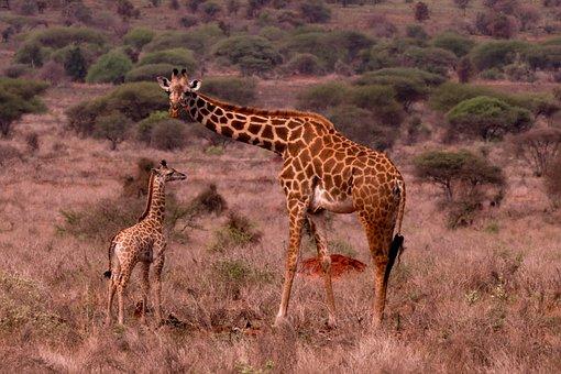 Giraffes, Calf, Safari, Young Giraffe, Young Animal