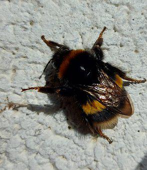 Buff Tailed Bumble Bee, Bombus Terrestris, Bee, Insects