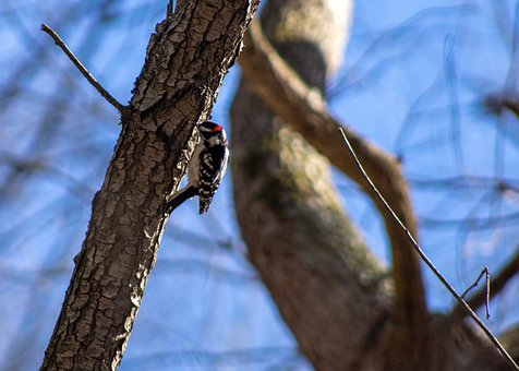 Downy Woodpecker, Bird, Tree, Trunk, Bark, Tree Trunk