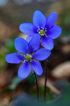 Bloom, Flower, Nature, Blue, Blossom, Flora, Garden