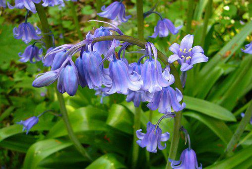 Flowers, Bluebell, Plant, English Bluebell