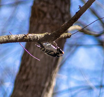 Downy Woodpecker, Upside Down, Branches, Bird, Ave