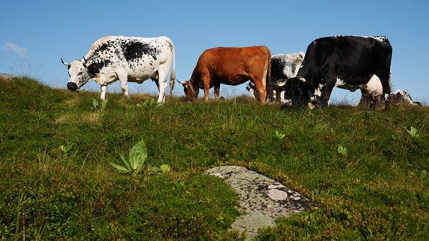 Cows, Cattle, Races, Pasture, Ruminants, Pre, Crete