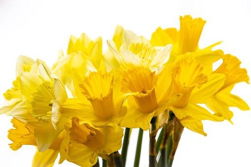 Daffodils, Flowers, Petals, Bouquet, Flora, Botany