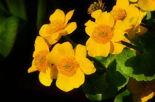 Marsh Marigold, Kingcup, Flower, Blossom, Plant