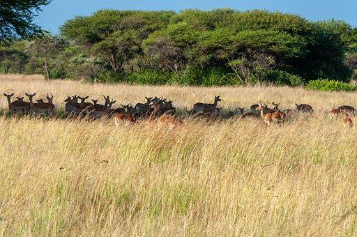 Impala, Animals, Grass, Wildlife, Safari, Nature