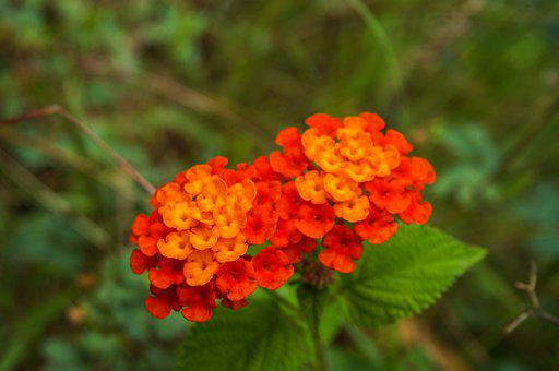 Flowers, Lantana, Camara, Lantana Camara, Tickberry