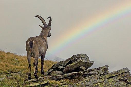 Ibex, Rocks, Horns, Ruminant, Mountains, Nature