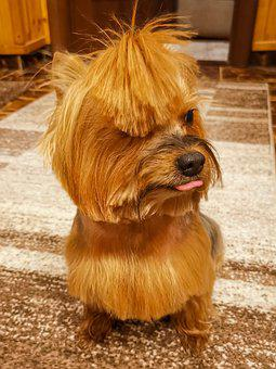 Yorkshire, Terrier, Dog, Puppy, Pet, Cute, Animal