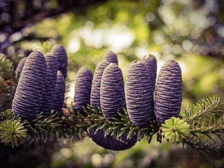 Pine Cones, Pine Nut, Fir, Treetop, Pine, Acorn