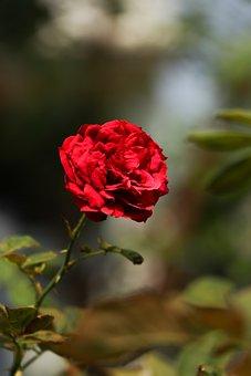 Flower, Rose, Red, Blossom, Plant, Red Rose, Red Flower