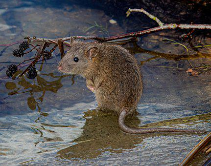 Rat, Rodent, River, Water, Mouse, Animal, Fur, Furry