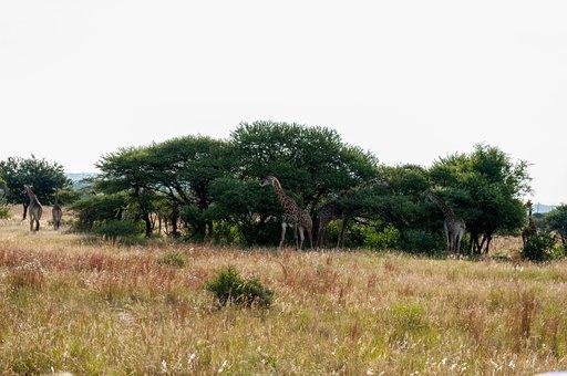 Giraffe, Trees, Africa, Animal, Landscape, Safari
