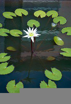 Water Lily, Lotus Relatives, Small Flower