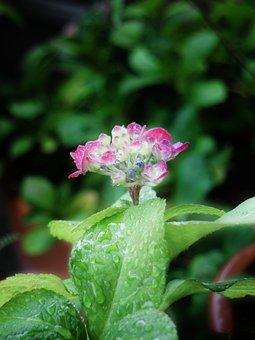 Hydrangea, Flower, Pink, Water Drops, Early Summer