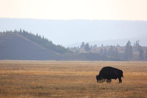 Buffalo, Yellowstone, Wyoming, Nature, Wildlife