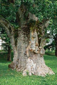Oak, Tree, Old, Ancient, Trunk