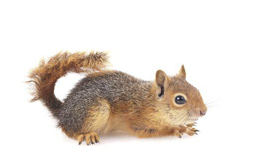 Squirrel, Wild Animal, Rodent, Animal, Feed, Nut