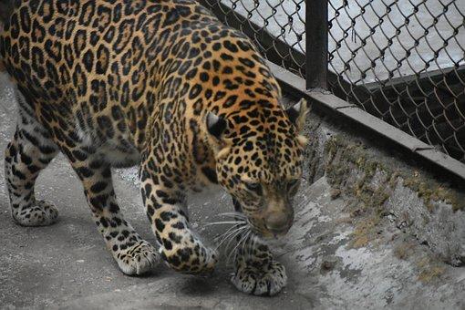 Tiger, Wildlife, Animal, Mammal, Predator, Feline, Cat