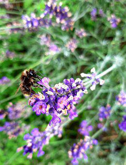 Bee, Lavender, Plant, Insect, Honey Bee, Provence