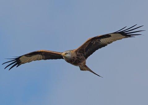 Red Kite, Bird, Flying, Sky, Bird Of Prey, Raptor