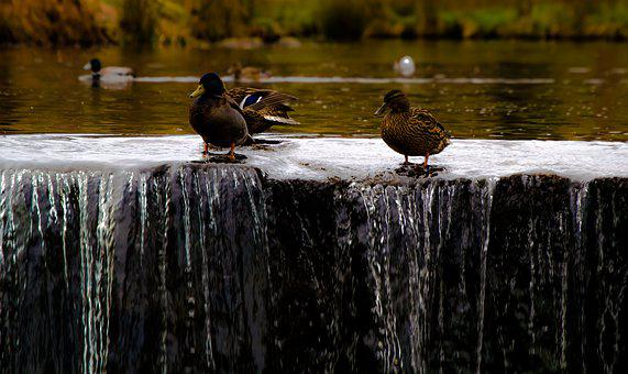 Duck, Mallard, Animal, Nature, Ducks, Drake, Birds