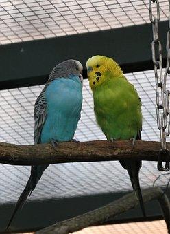 Parakeets, Birds, Couple, Parrots, Animals, Feathers