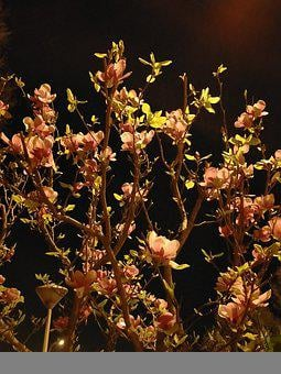 Night, Magnolia, Tree, Contrast, Flower, Bloom, Dark