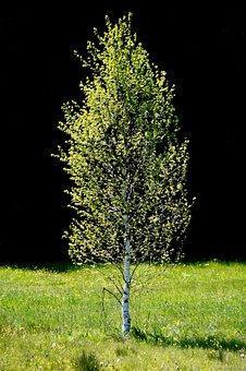 Bog Birch, Birch, Tree, Nature, Light, Shadow, Meadow