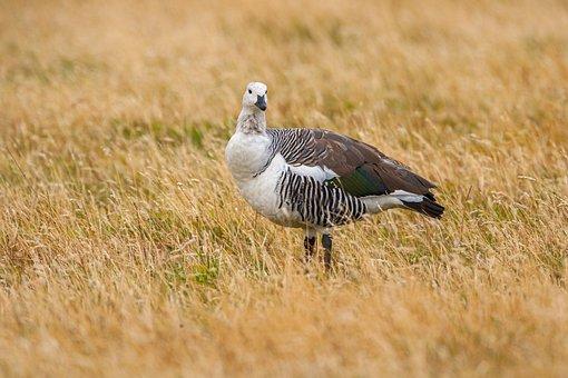 Upland Goose, Magellan Goose, Chloephaga Picta, Goose