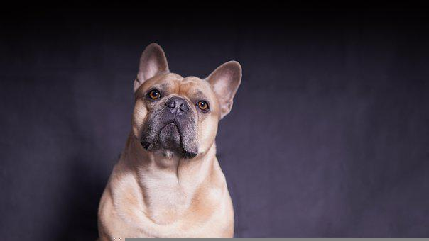 French Bulldog, Dog, Strong, Muscular, Attention
